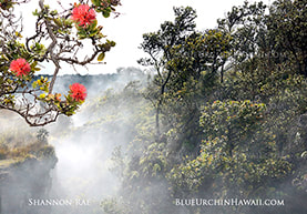 of picture of  steam vent mist floating over the ohia lehua trees in bloom at Kilauea Volcano